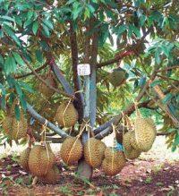 Dense durian